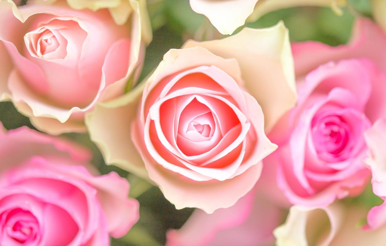 Photo wallpaper macro, tenderness, roses, buds
