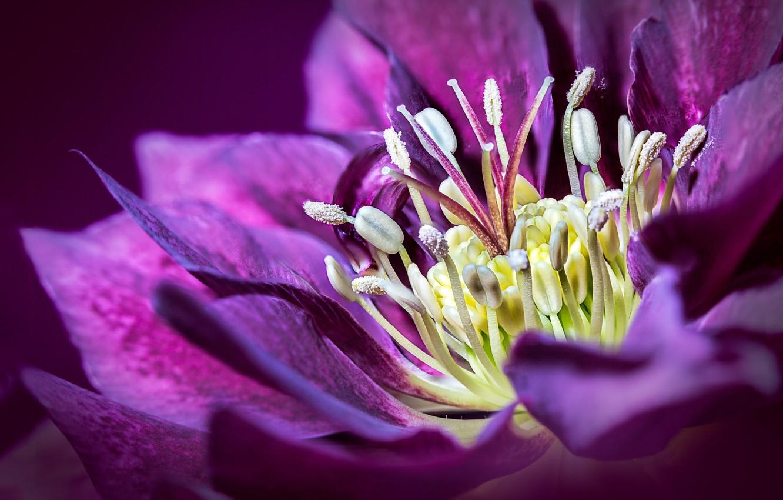Photo wallpaper flower, petals, hellebore