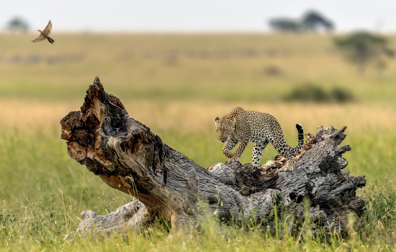 Photo wallpaper tree, bird, predator, leopard, grace, snag