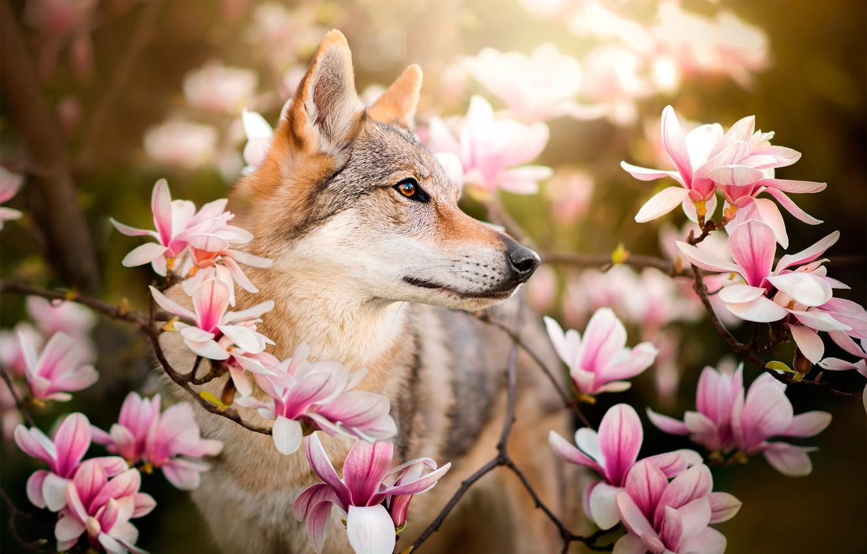 Photo wallpaper flowers, branches, dog, Chinua, the Czechoslovakian Wolfdog