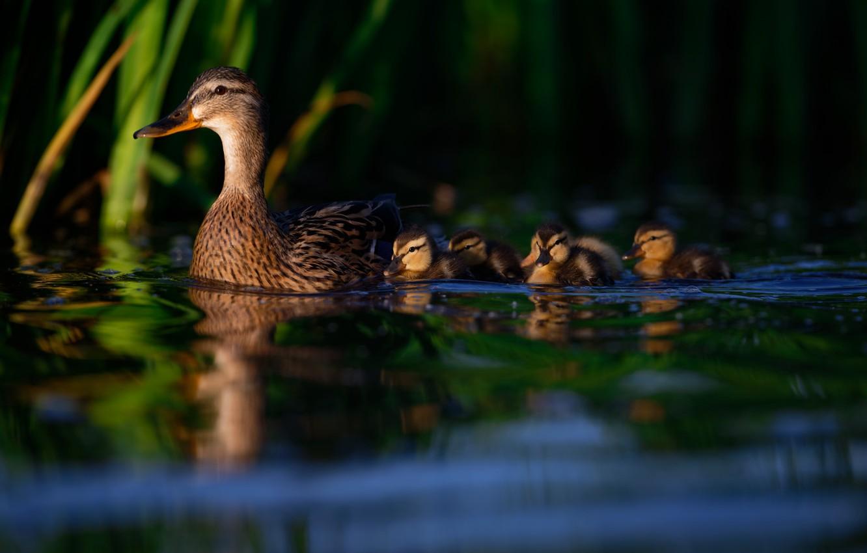 Photo wallpaper water, birds, duck, Chicks