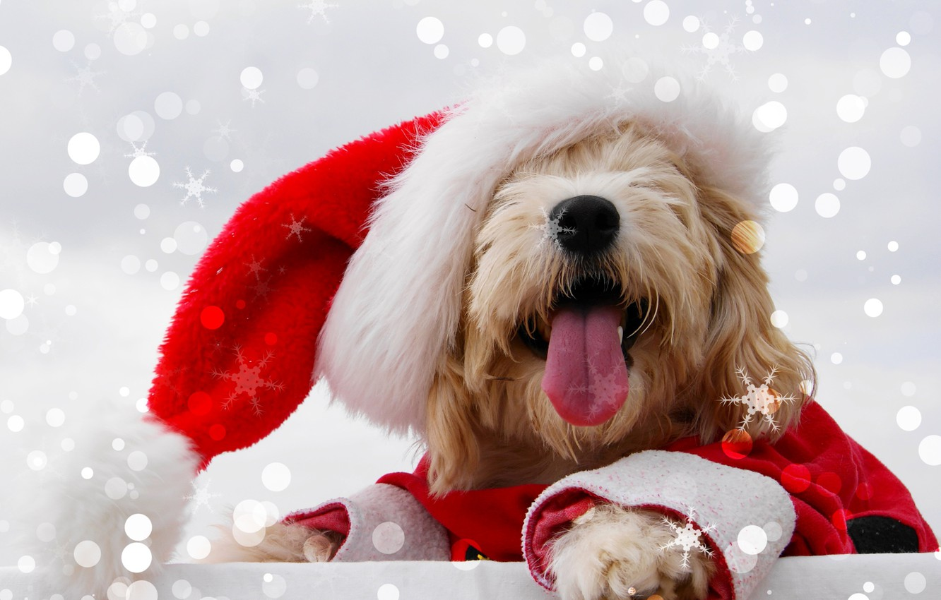 Photo wallpaper language, face, snowflakes, glare, background, holiday, hat, new year, Christmas, outfit, red, bokeh, Maltese, Maltese