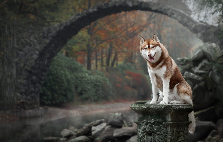 Photo wallpaper autumn, bridge, nature, dog, Husky