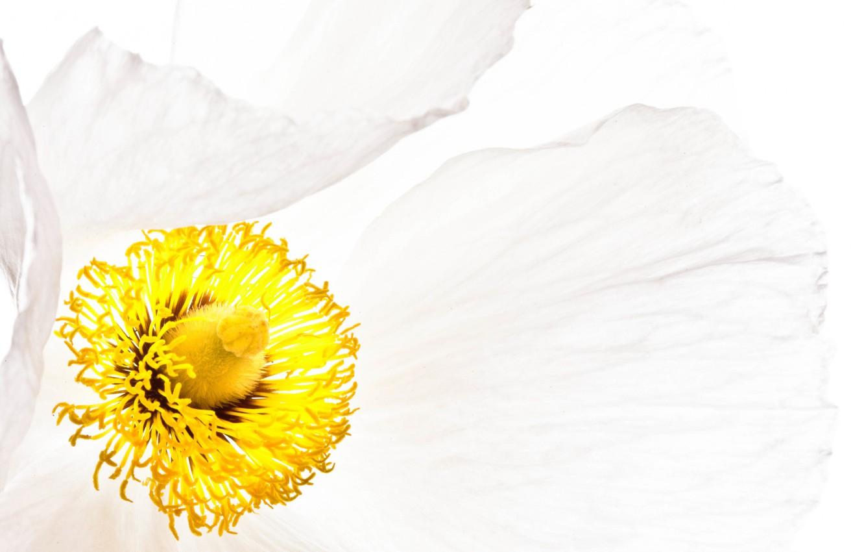 Photo wallpaper white, flower, Mac, petals