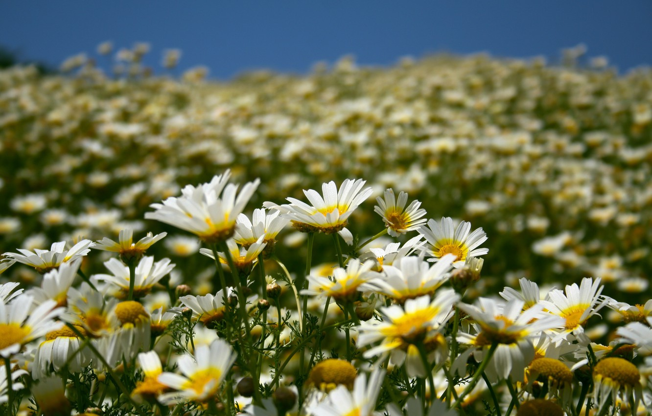 Photo wallpaper field, summer, the sky, flowers, nature, chamomile, petals