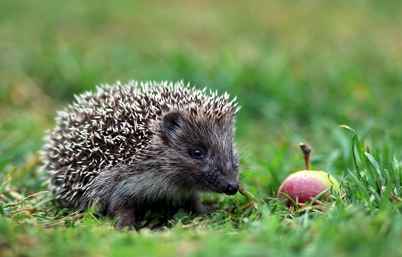 Photo wallpaper forest, animals, summer, nature, glade, Apple, the evening, walk, lawn, hedgehog, cottage, July, report, animalism, ...