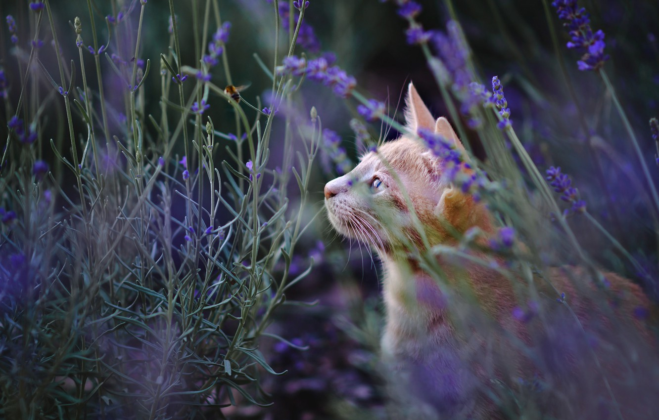 Photo wallpaper cat, summer, cat, look, face, flowers, nature, glade, red, profile, lavender