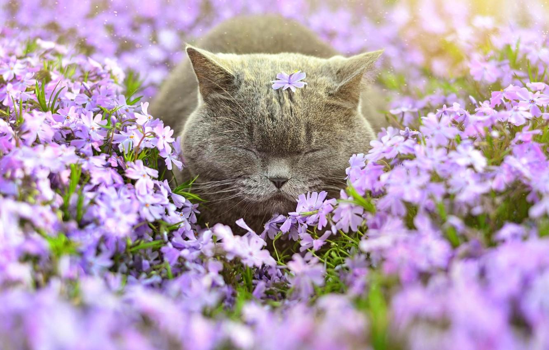 Photo wallpaper cat, flowers, Phlox