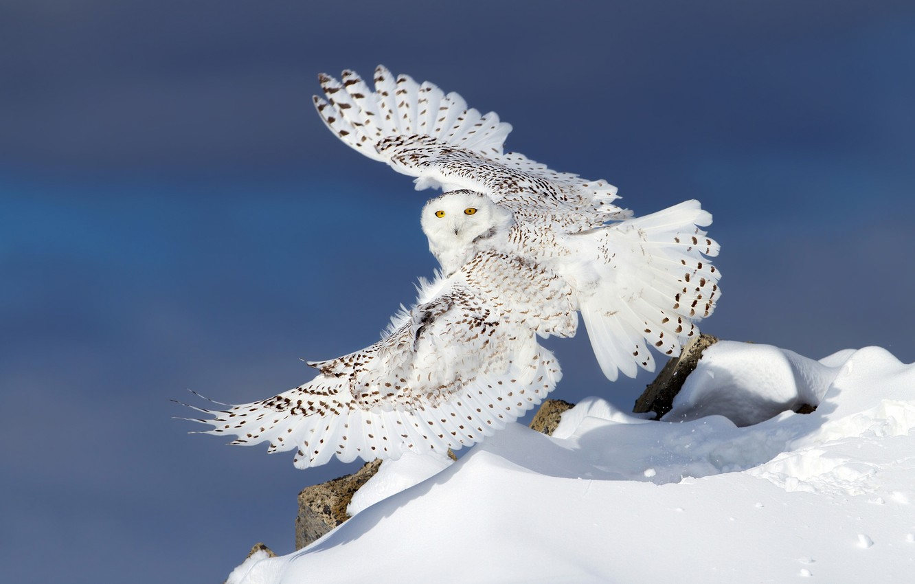 Wallpaper Winter Snow Owl Wings Snowy Owl White Owl