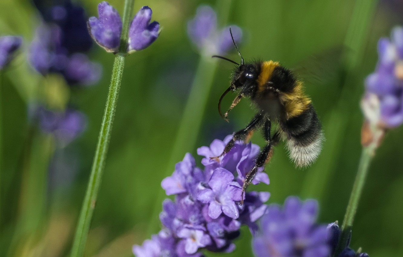 Photo wallpaper flower, macro, bee, plant, insect, bumblebee