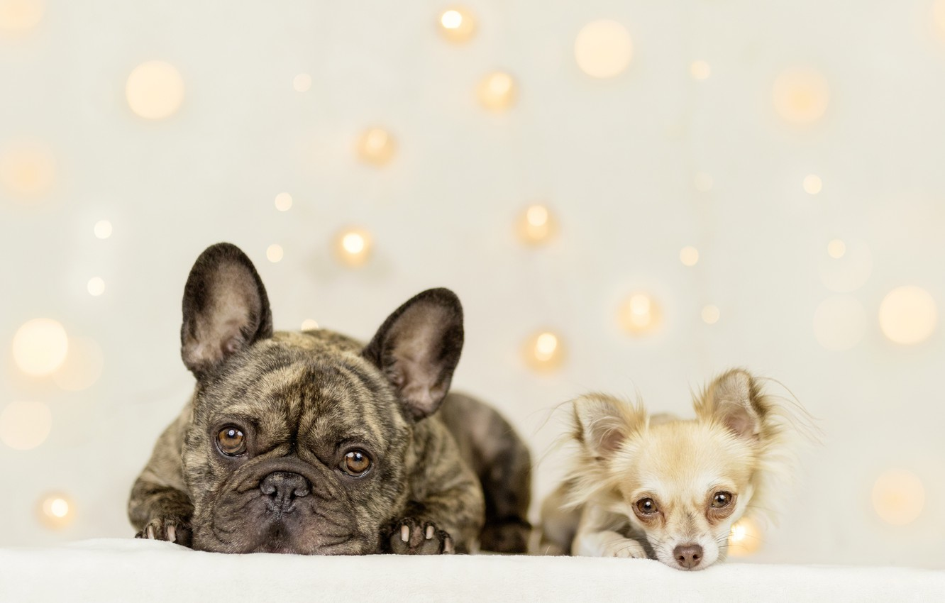 Photo wallpaper look, background, a couple, two dogs, Chihuahua, French bulldog