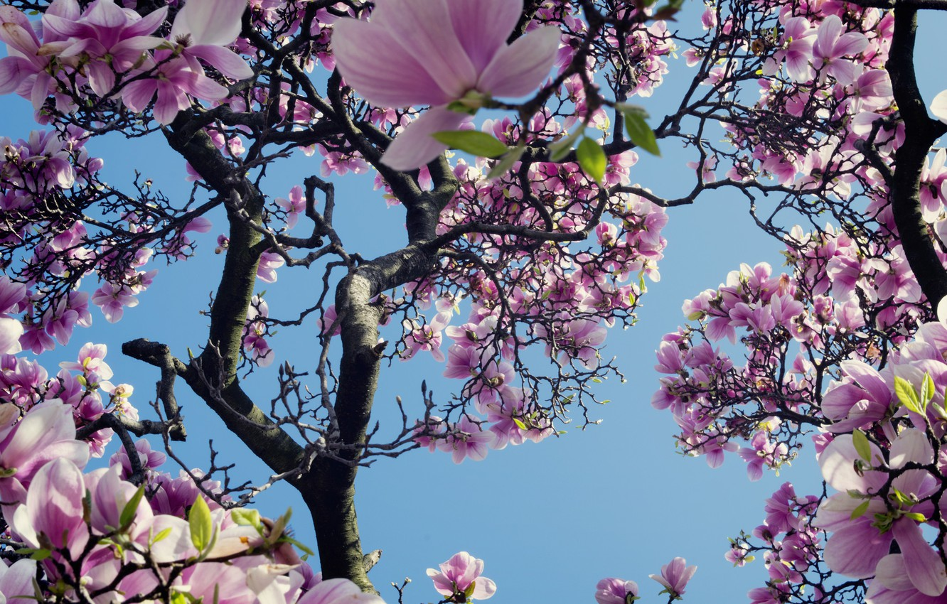 Photo wallpaper the sky, tree, pink, spring, Magnolia