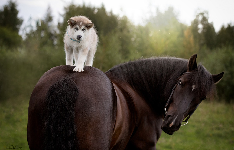 Photo wallpaper horse, horse, dog, puppy, rider, Siberian Husky