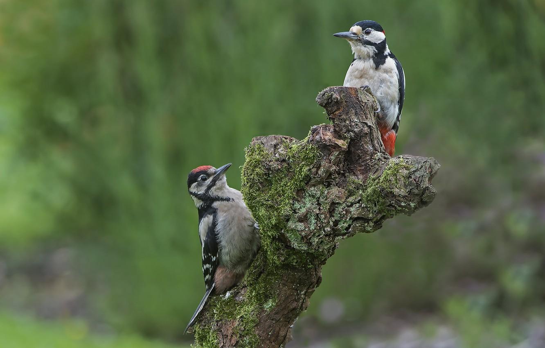 Photo wallpaper birds, woodpecker, snag, a couple, woodpeckers