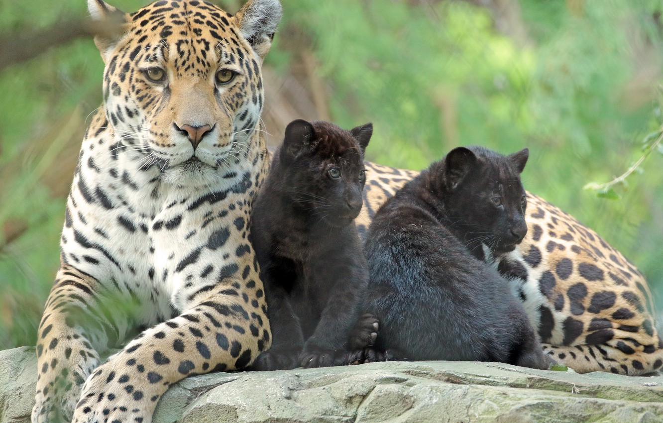 Photo wallpaper animals, family, kids, care, mom, zoo, jaguars