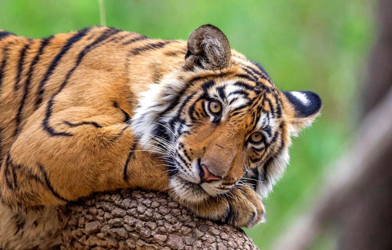 Photo wallpaper cat, predator, Bengal tiger