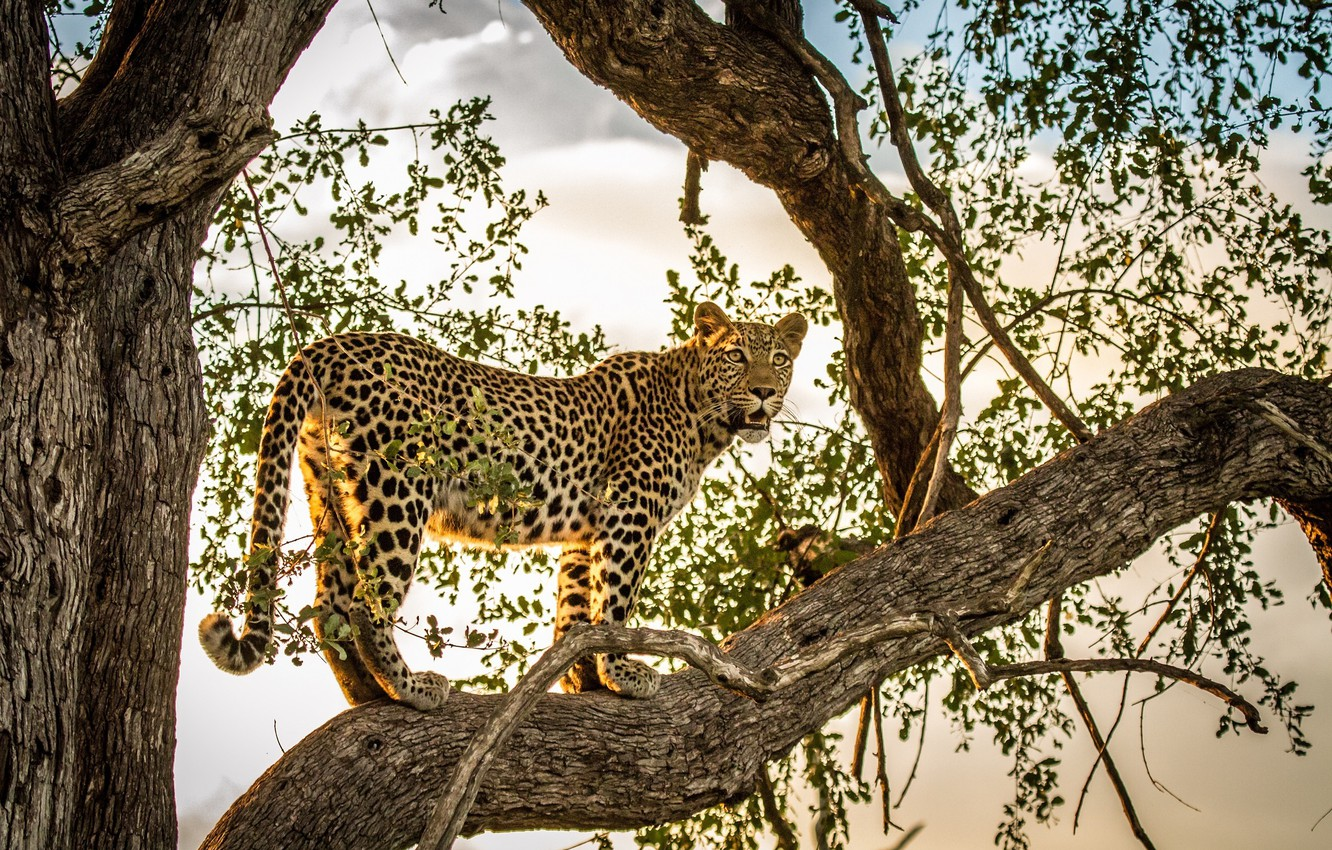 Photo wallpaper predator, leopard, wild cat, on the tree