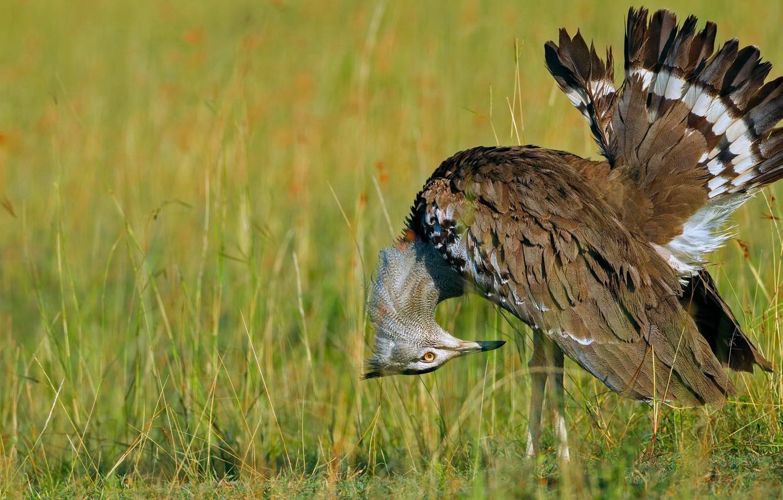 Wallpaper Bird Feathers Beak Tail Kenya Reserve Masai Mara