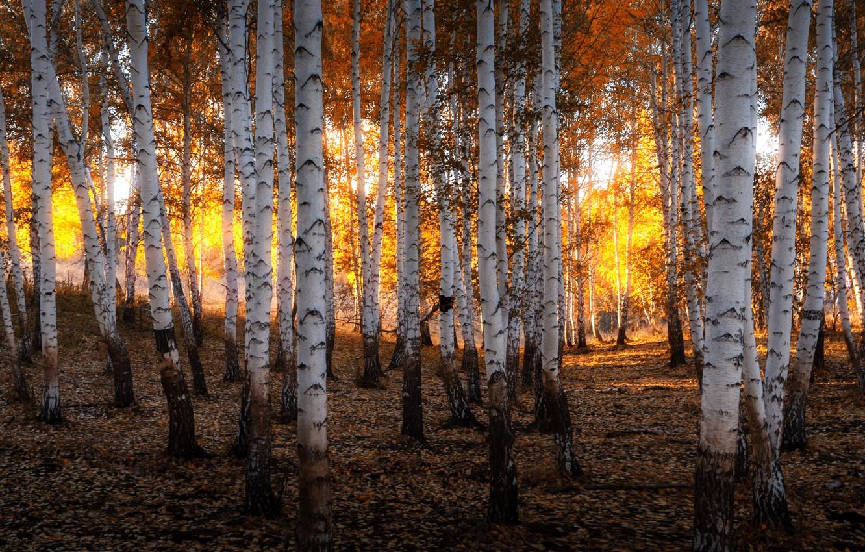 Photo wallpaper autumn, forest, the sun, light, nature, gold, the evening, birch, Russia, grove, Ural