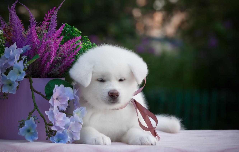 Photo wallpaper flowers, background, animal, puppy, Samoyed