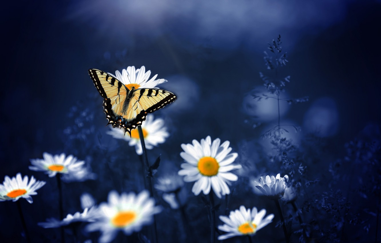 Photo wallpaper macro, flowers, nature, background, butterfly, chamomile