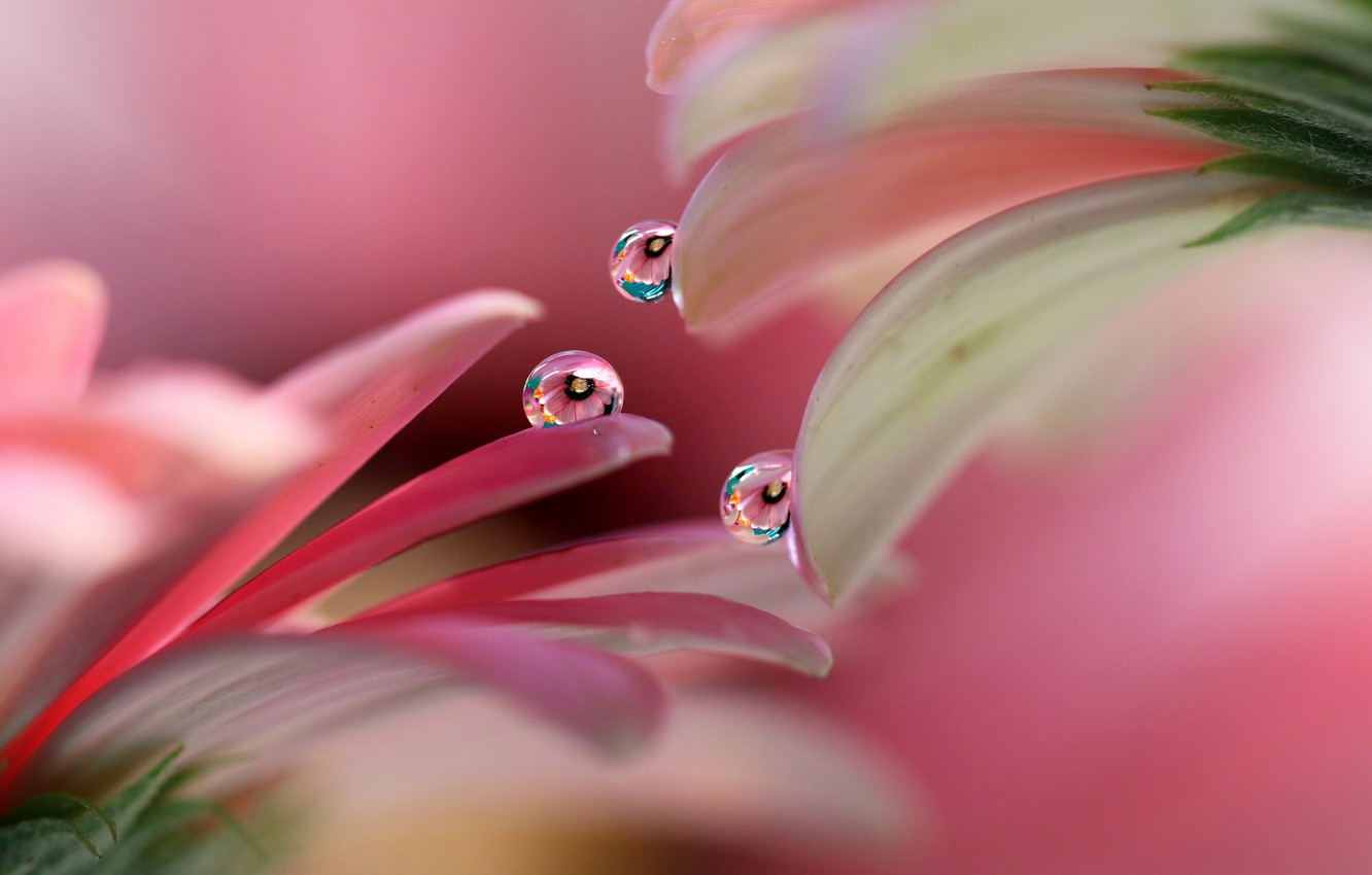 Photo wallpaper drops, petals, gerbera