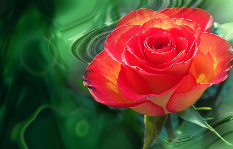 Wallpaper Flower Summer Nature Mood Rose Roses Beauty Rose