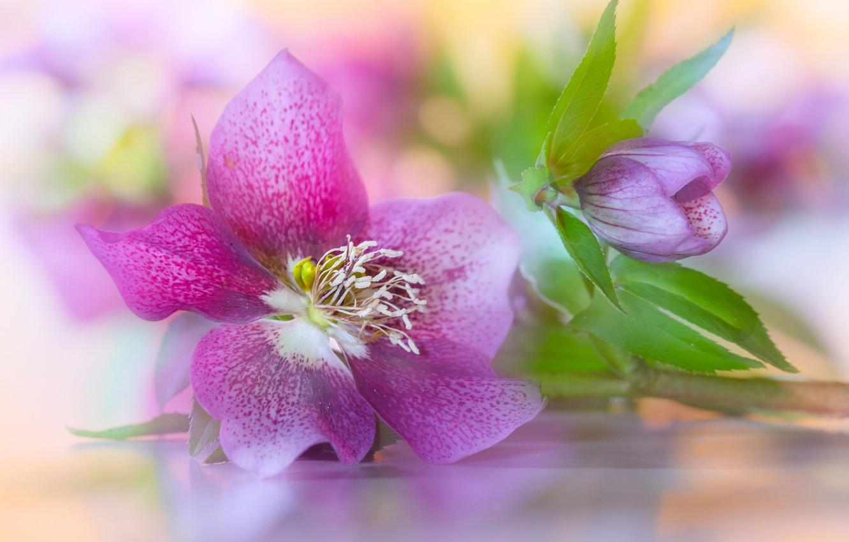 Photo wallpaper petals, Bud, Hellebore