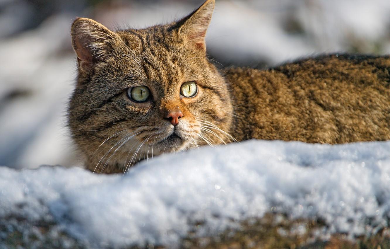 Photo wallpaper look, face, snow, Wild cat, Wildcat