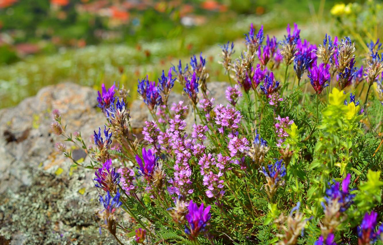Photo wallpaper Spring, Spring, Flowering, Flowering, Oxytropis