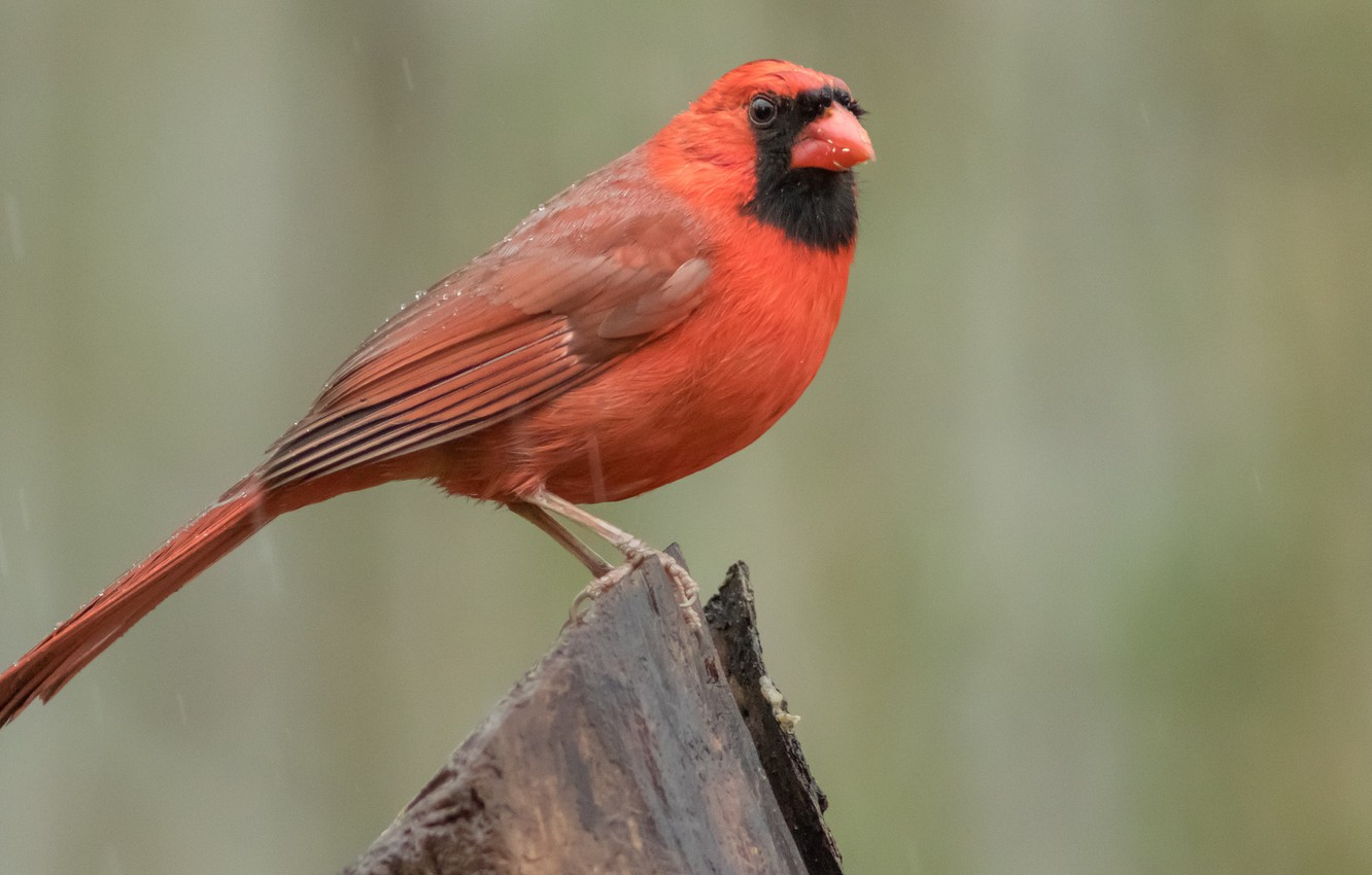 Photo wallpaper birds, cardinal, red cardinal