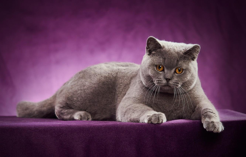 Wallpaper Cat Portrait Photoshoot British Shorthair Images For