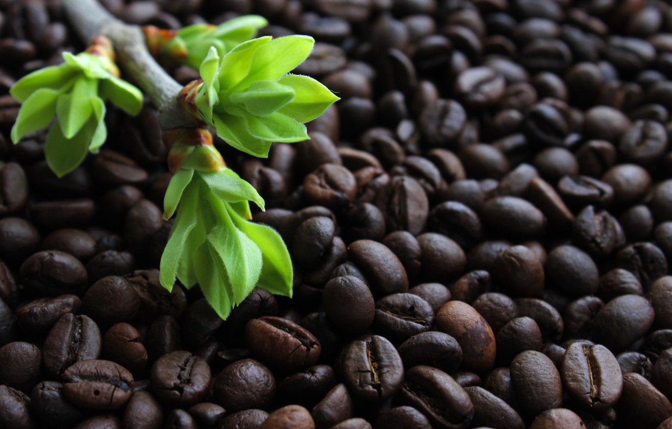Photo wallpaper greens, leaves, light, background, Wallpaper, coffee, branch, the buds on the branches, coffee bean, roasted …