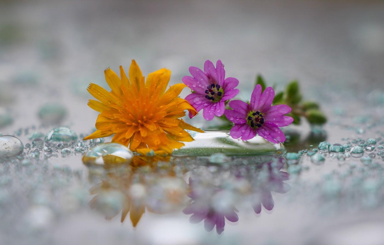 Photo wallpaper drops, dandelion, a field of flowers
