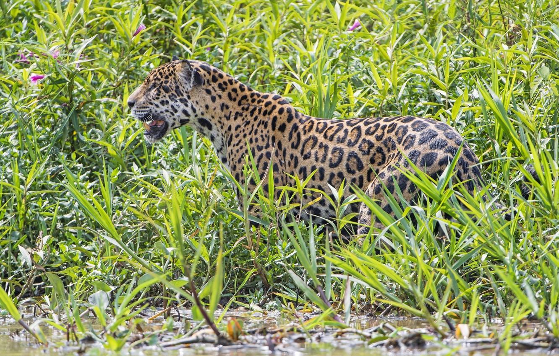 Photo wallpaper thickets, predator, Jaguar, wild cat, The Pantanal
