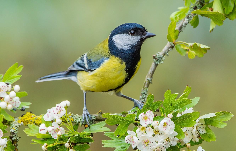 Photo wallpaper bird, branch, flowering, flowers, tit, hawthorn