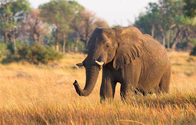 Photo wallpaper elephant, large, beautiful, trunk