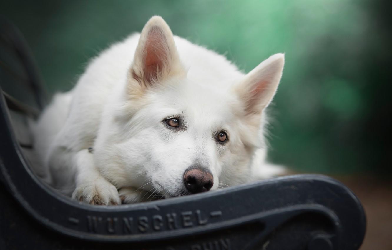 Photo wallpaper look, face, bench, dog, bokeh, The white Swiss shepherd dog