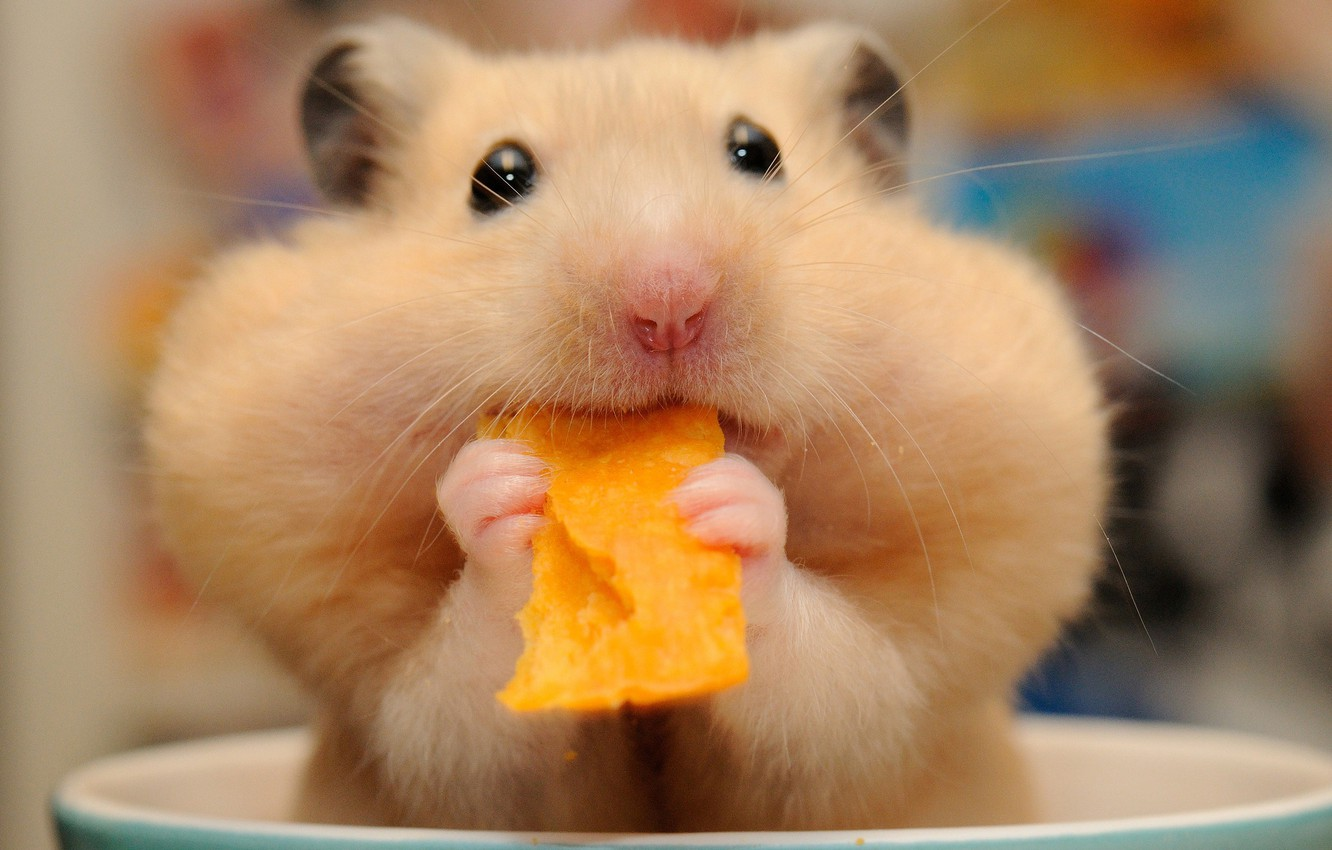Photo wallpaper hamster, muzzle, lunch, rodent, chips, cheeks