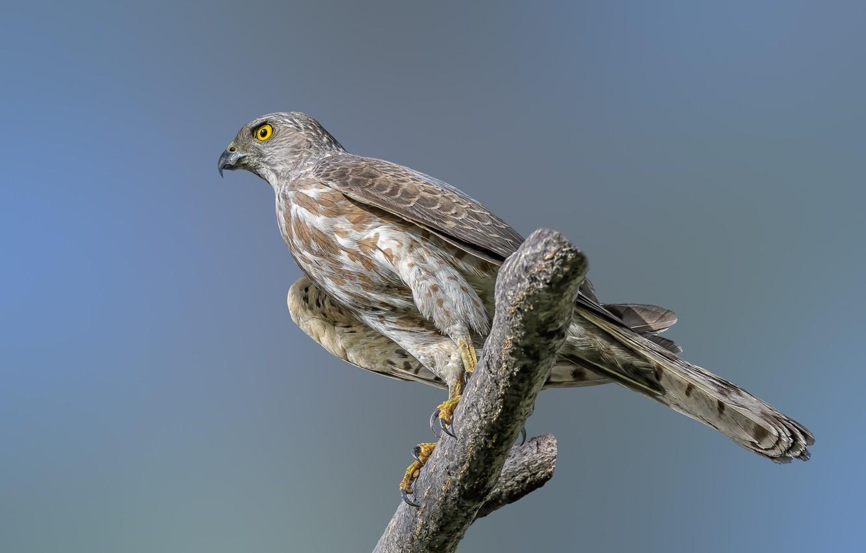 Photo wallpaper birds, predator, shikra