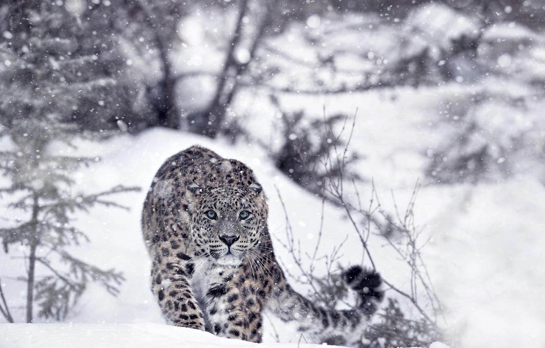 Photo wallpaper winter, forest, snow, predator, leopard, IRBIS, snow leopard