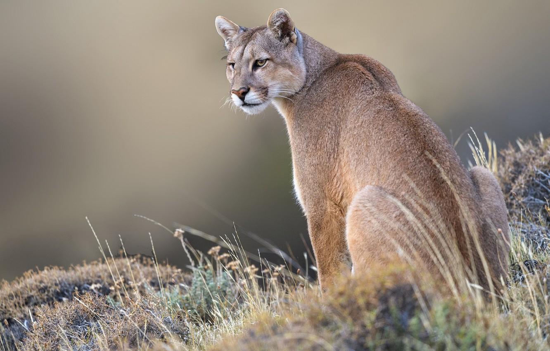 Wallpaper Grass Background Wild Cat Puma Mountain Lion Images