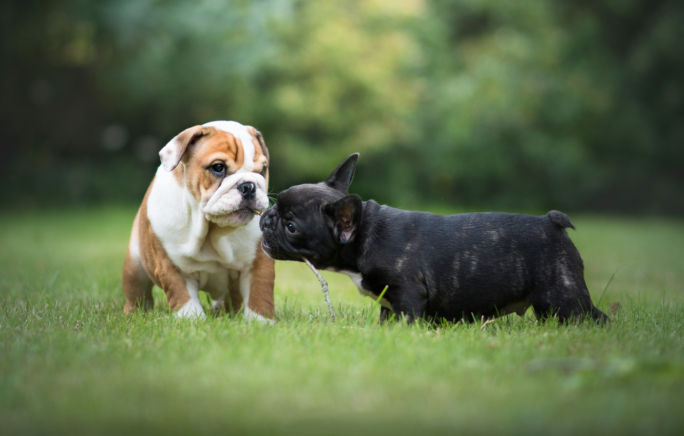 Photo wallpaper grass, puppies, French bulldog, English bulldog, the bulldogs