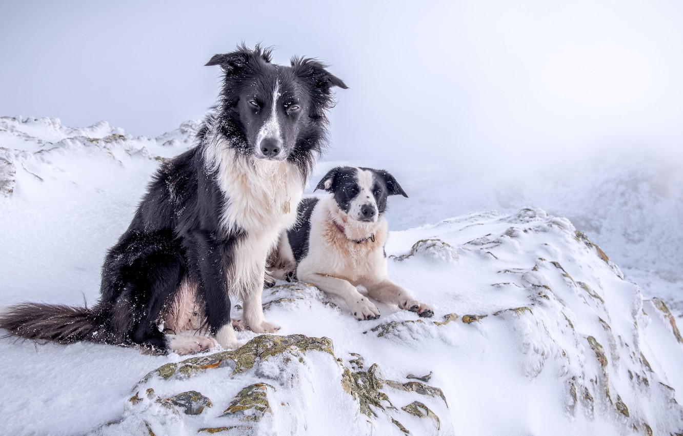 Photo wallpaper winter, dogs, snow