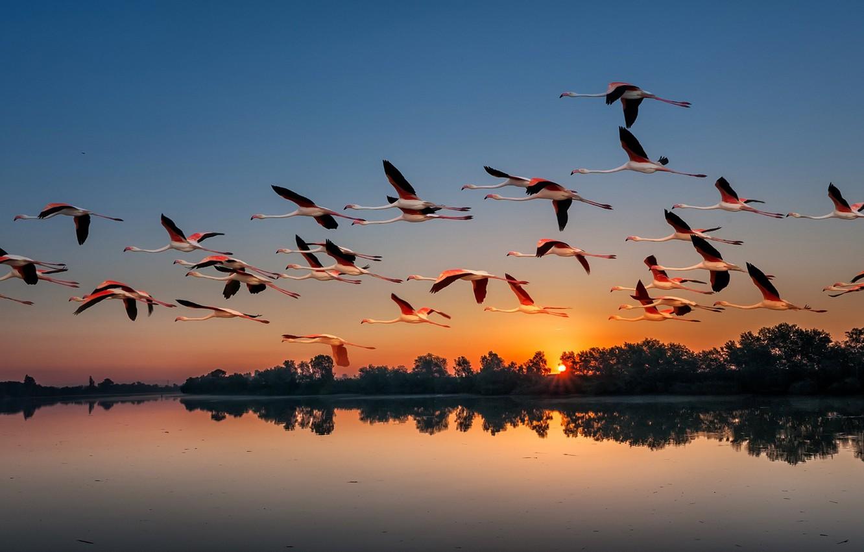 Photo wallpaper sunset, birds, nature, lake, pack, Flamingo, flights