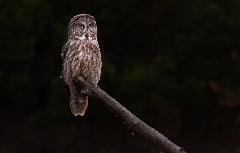 Photo wallpaper owl, bird, log