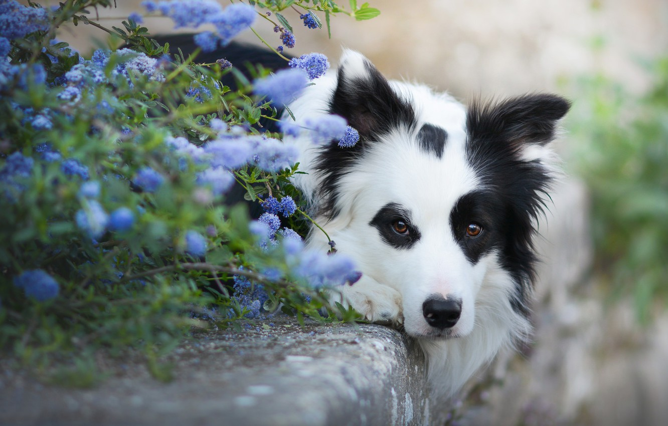 Photo wallpaper look, face, flowers, dog, The border collie