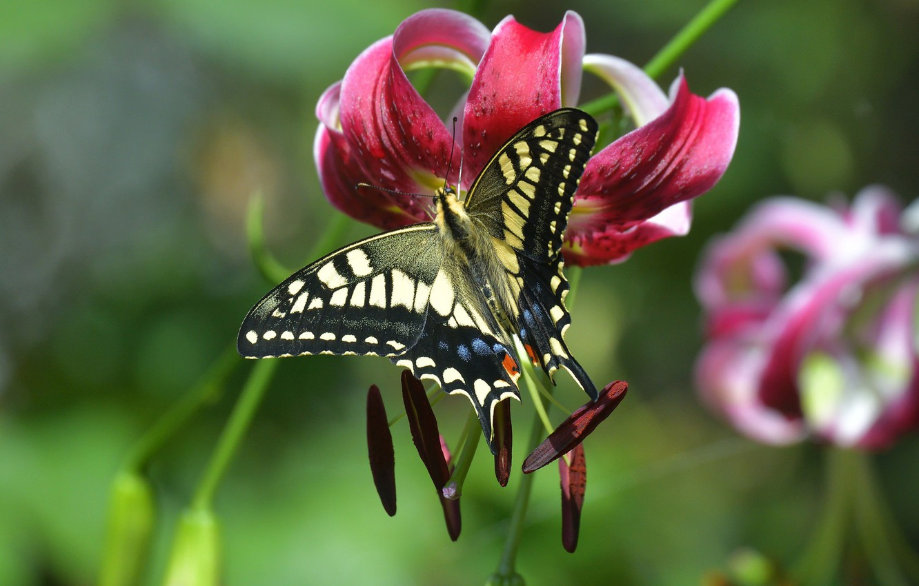 Photo wallpaper flower, macro, butterfly, Lily, stamens, bokeh, Swallowtail, Lily lovely