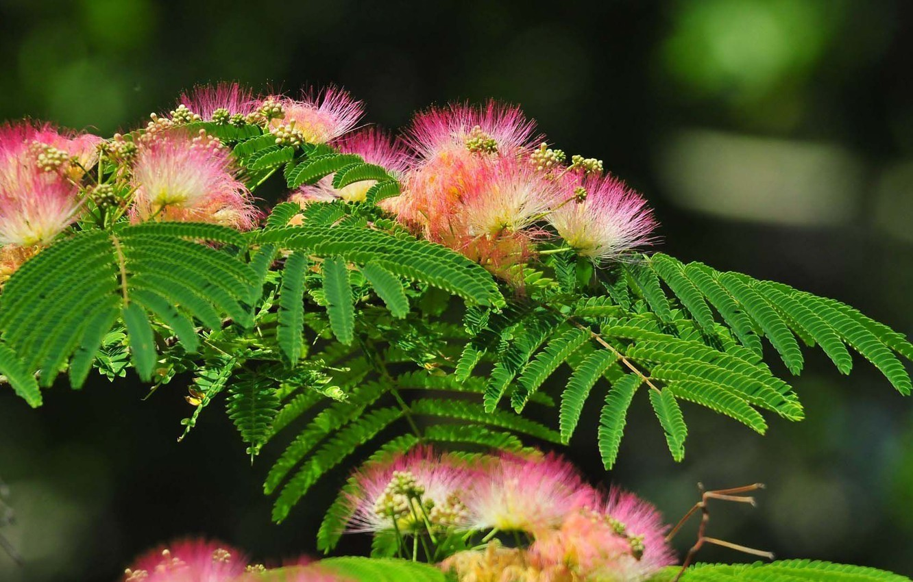 Photo wallpaper nature, background, flowering, picture, Crimea, buds, flowering branch, Lankaran acacia, carved leaves, fluffy flowers, albizia …