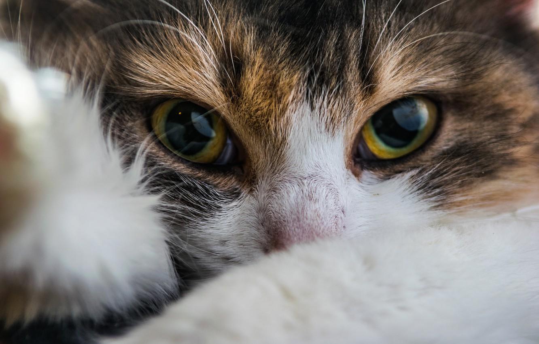 Photo wallpaper cat, eyes, look, muzzle, cat
